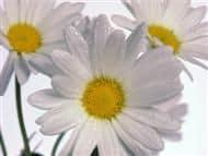 Rumianek - roślina znana i doceniana od wieków